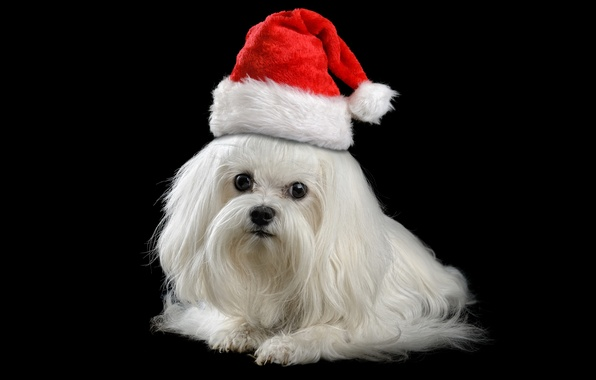 Картинка животные, красный, праздник, новый год, рождество, собака, щенок, Санта, белая, черный фон, болонка, колпак