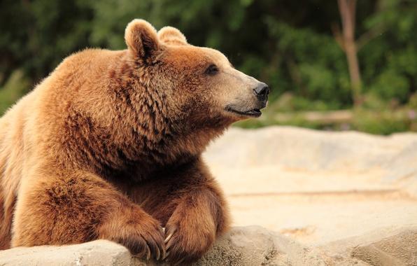 Картинка морда, природа, лапы, шерсть, медведь, боке, бурый, крупным планом