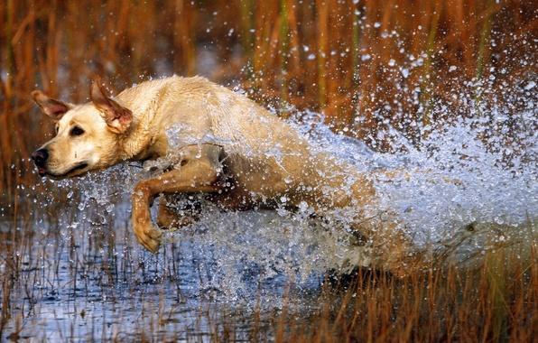Картинка вода, брызги, прыжок, собака, пес