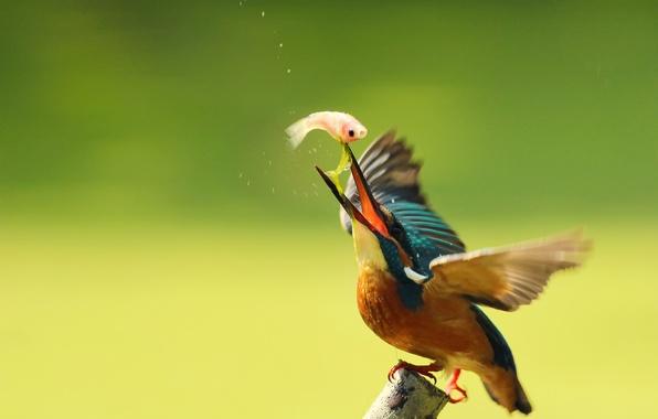 Картинка капли, птица, ветка, kingfisher, alcedo atthis, обыкновенный зимородок, улов, By Boris