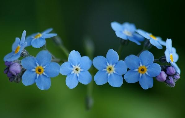Незабудки цветы голубые синие макро
