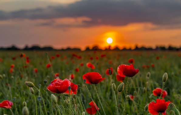Картинка закат, цветы, природа, маки, луг, боке