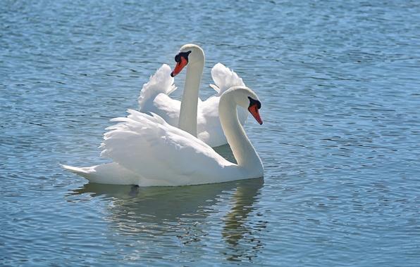 Картинка вода, снег, природа, nature, water, белый лебедь, tender, Snow Swan, Li Feng