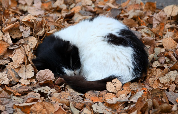 Картинка осень, листья, котёнок