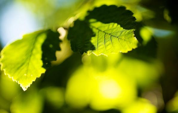 Картинка листья, солнце, макро, деревья, зеленый, фон, дерево, green, widescreen, обои, размытие, листик, wallpaper, листочек, широкоформатные, …