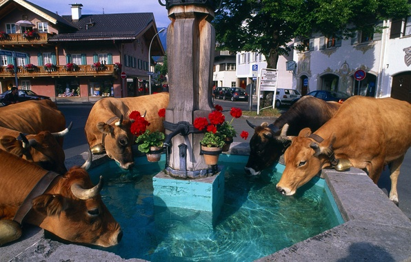 Картинка цветы, город, дома, коровы, фонтан, колокольчик, водопой, альпы