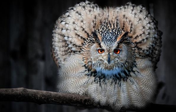 Картинка взгляд, сова, птица, ветка, перья, филин