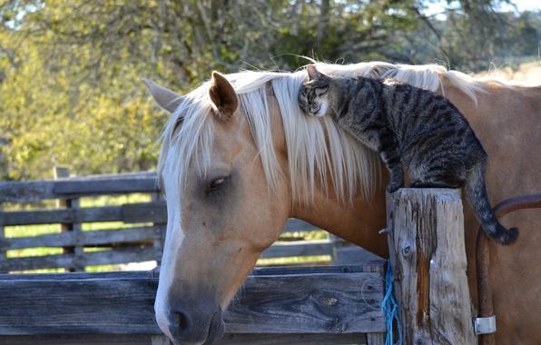 Картинка кошка, кот, конь, лошадь, дружба