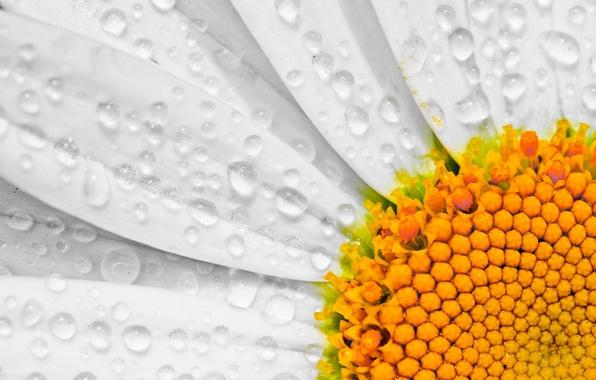 Картинка цветок, капли, макро, лепестки, ромашка