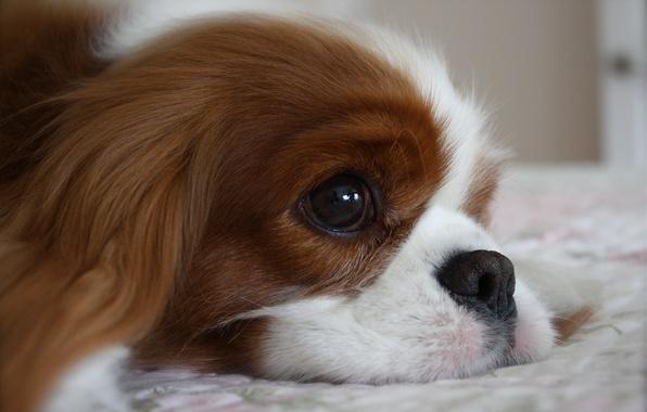 Картинка морда, фон, животное, widescreen, обои, собака, лежит, wallpaper, широкоформатные, dog, background, пёс, face, animal, полноэкранные, …