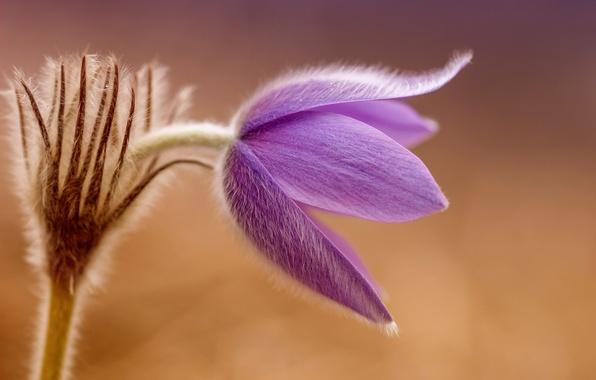 Картинка цветок, макро, весна, первоцвет, сон-трава, прострел большой, сон великий, pulsatílla grandis