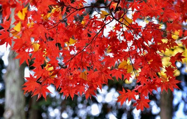 Картинка осень, листья, Япония, клен, багрянец