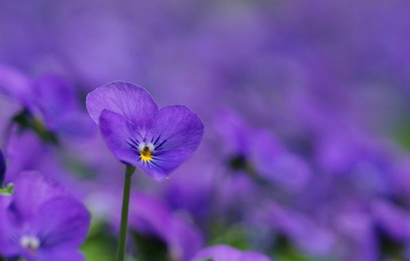 Картинка макро, цветы, поляна, лепестки, размытость, фиолетовые, сиреневые, Фиалки