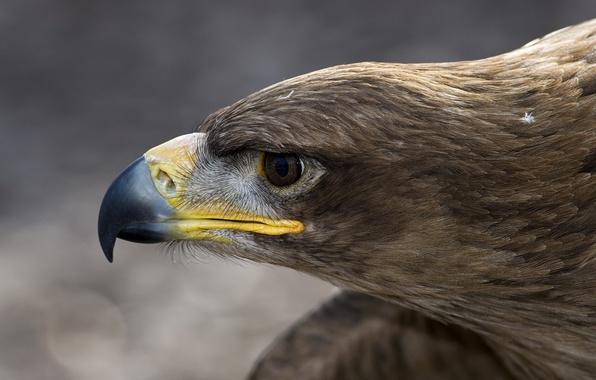 Картинка макро, птица, орел, голова, перья, клюв, профиль, орлан