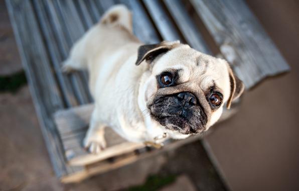Картинка глаза, настроение, собака, размытость, мопс, уши, мордашка