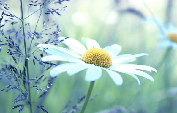 Картинка белый, цветы, желтый, зеленый, фон, widescreen, обои, растение, ромашки, ромашка, wallpaper, цветочки, широкоформатные, background, полноэкранные, …