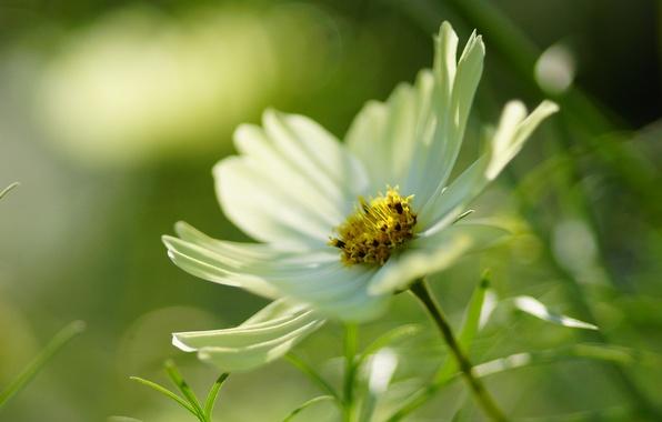 Картинка белый, цветок, макро, космея
