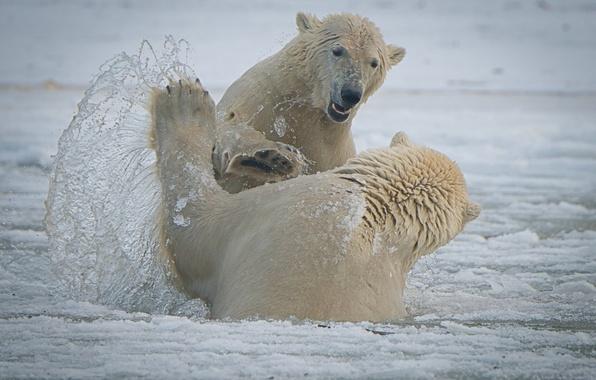 Картинка брызги, медведи, Аляска, Alaska, белые медведи, спарринг, Национальный Арктический заповедник, Arctic National Wildlife Refuge