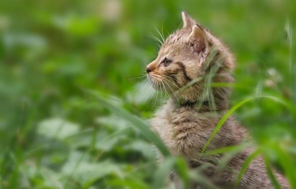 Картинка трава, котёнок, дикая кошка