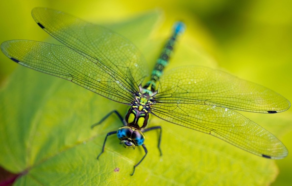 Картинка green, legs, eyes, wings, leaves, macro, insect, head, vegetation, Dragonfly