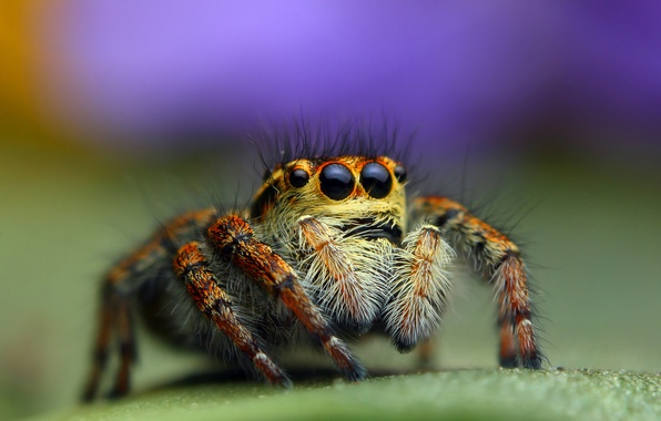 Картинка макро, фон, паук, джампер