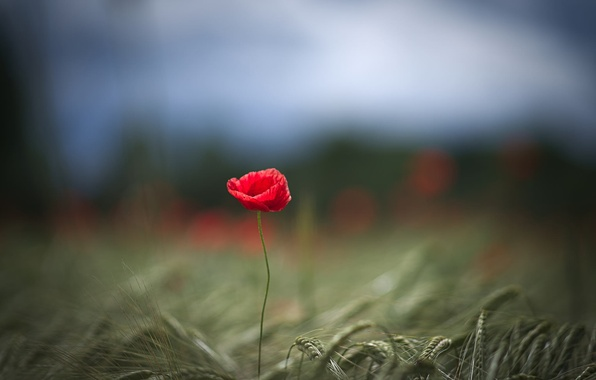 Картинка поле, цветок, макро, красный, один, фокус, лепестки, Мак