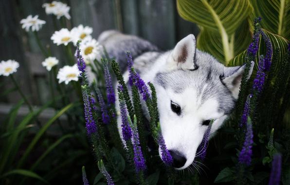 Картинка цветы, собака, сад, нос, щенок, клумба, хаски, нюхает, сибирский хаски