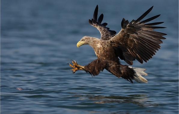 Картинка вода, птица, крылья, полёт, взмах