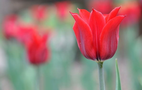 Картинка макро, тюльпан, весна, лепестки
