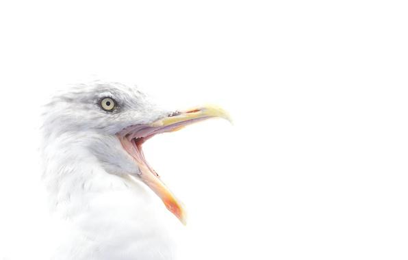 Картинка bird, eye, beak, herring gull