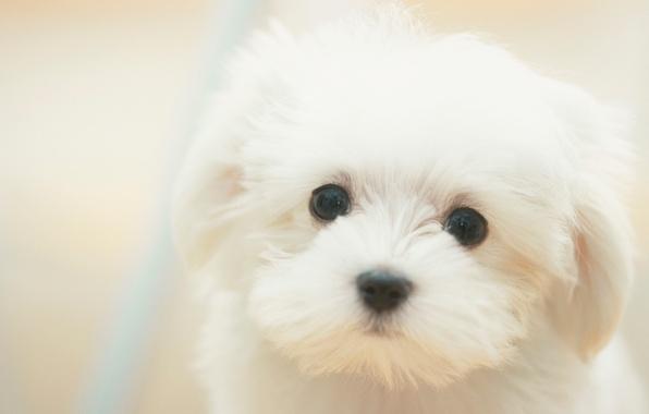 Картинка Собака, щенок, white, белые, sad, puppy, dog, cute, милые, грустные, dreamy, мечтательные