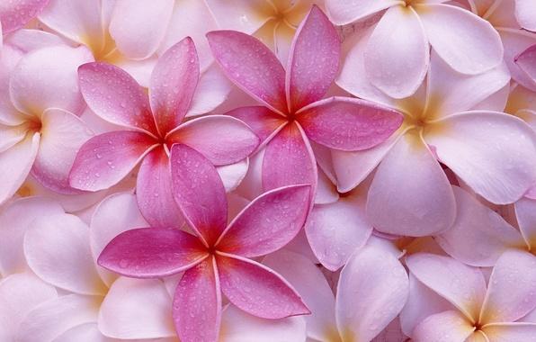 Картинка цветы, фон, розовый
