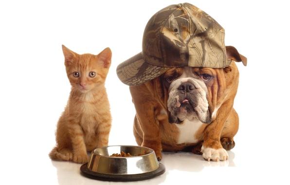 Картинка кот, собака, рыжий, бульдог, железная, кепка, миска, корм