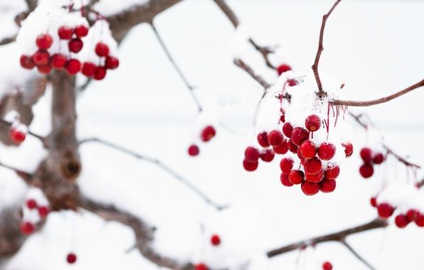 Картинка зима, макро, снег, ветки, красный, ягоды, фон, дерево, обои, wallpaper, широкоформатные, winter, background, snow, macro, …