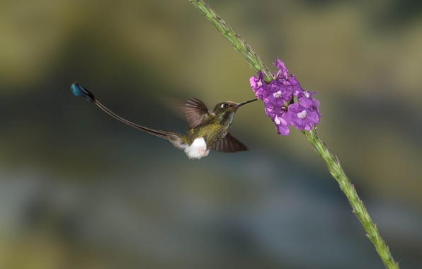 Картинка цветы, природа, птица, колибри, птичка, гладиолус, колибри-знаменщик, колибри-ракетохвост мохноногий