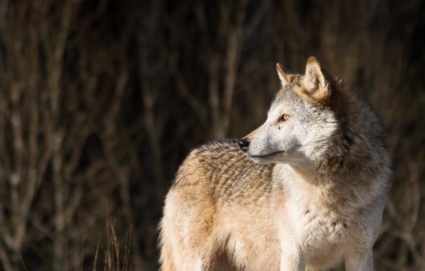 Картинка взгляд, волк, хищник, wolf