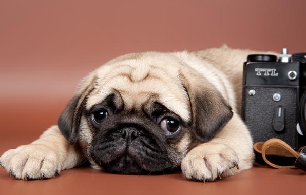 Картинка взгляд, фотоаппарат, мопс, щенок