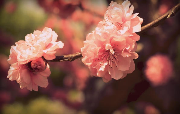 Картинка цвета, цветы, ветка, весна, лепестки, сакура, розовые, цветение