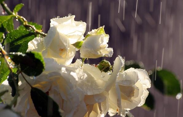 Картинка вода, капли, дождь, розы, букет, белые, бутоны