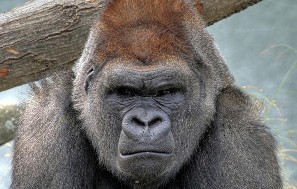 Картинка животное, обезьяна, Горилла, строгий