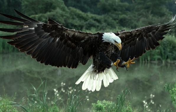 Картинка птица, крылья, хищник, ястреб, Белоголовый орлан