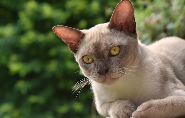 Картинка кошка, мордочка, бурма, бурманская кошка