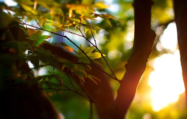 Картинка зелень, лето, листья, солнце, макро, лучи, свет, деревья, дерево, настроение, листва, фокус, ствол, листочки, кора, …