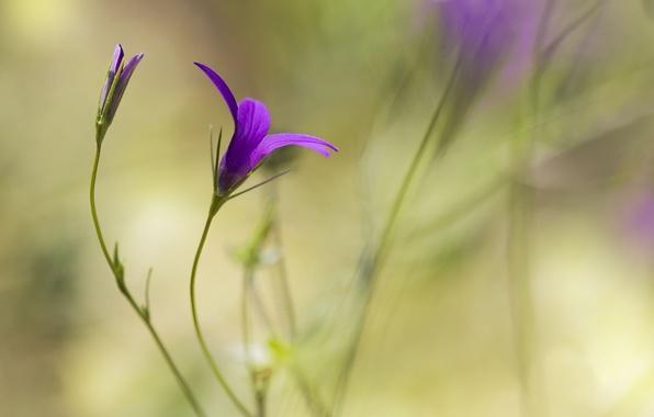 Картинка цветок, фон, сиреневый, размытость, бутон
