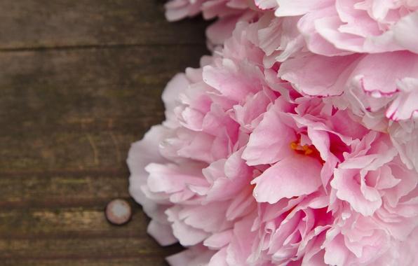 Картинка макро, цветы, розовые, пионы