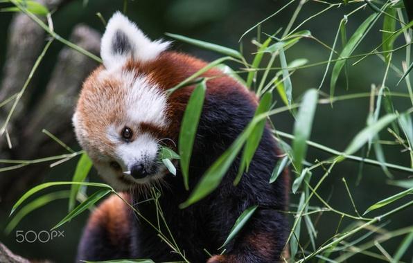 Картинка листва, бамбук, красная панда, firefox