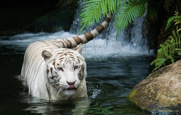 Картинка кошка, тигр, белый тигр, tiger, white tiger