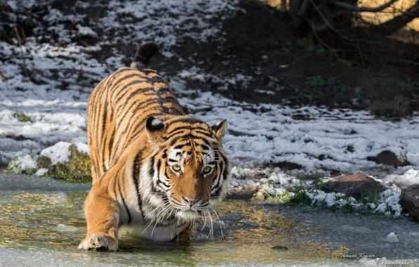 Картинка холод, зима, морда, снег, лапа, лёд, хищник, дикая кошка, водоём, амурский тигр