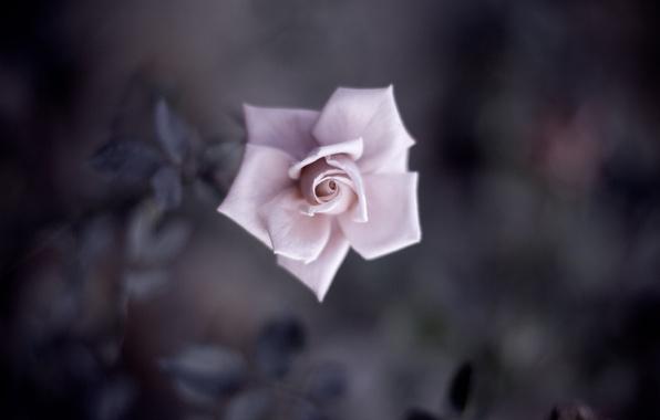 Картинка цветок, листья, макро, розовая, нежность, роза, цвет, тень, лепестки, размытость, бутон