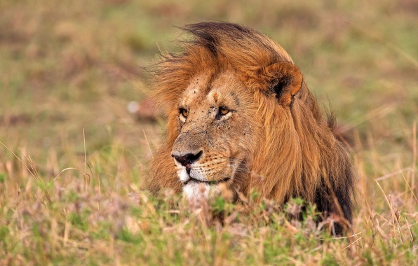 Картинка морда, лев, грива, царь зверей, боке